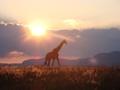 Giraffe am Horizont